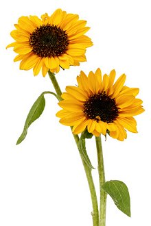 Therapies & About Me. Library Image: Sunflowers